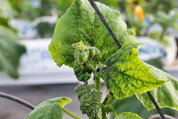 Уксус избавит ваши растения от тли за один прием.