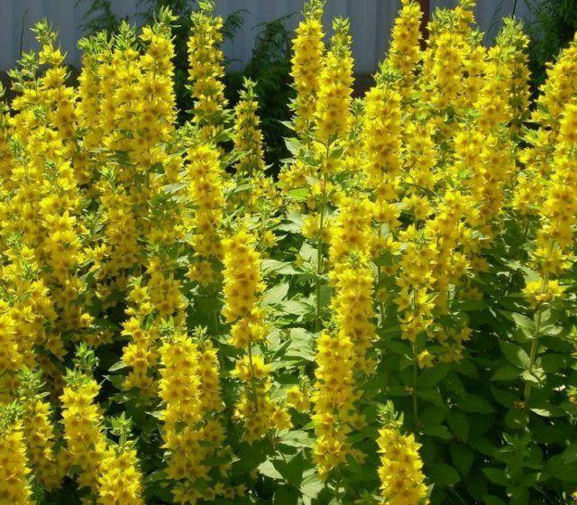 Какие многолетние цветы сажают и пересаживают осенью