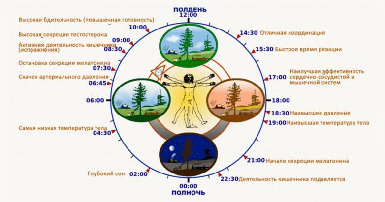 Что происходит с организмом человека в конкретные часы