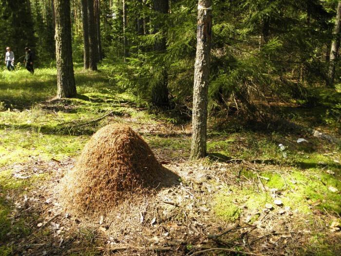 Экономим на репеллентах: народные способы защиты от комаров