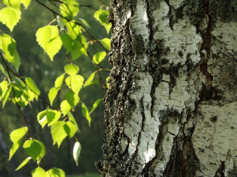 Полезные свойства березовых листьев
