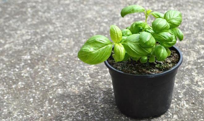6 бесценных лекарственных растений, которые стоит выращивать дома