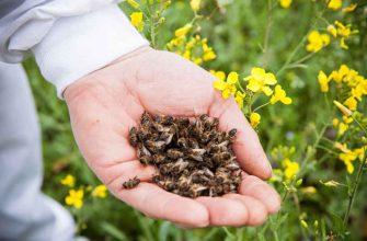 Пчелиный подмор поднимет умирающего — уникальное лекарство
