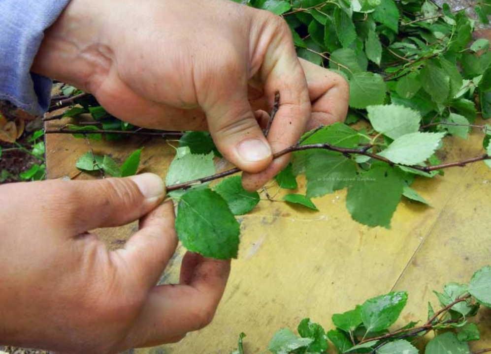 Листья березы для быстрого роста волос