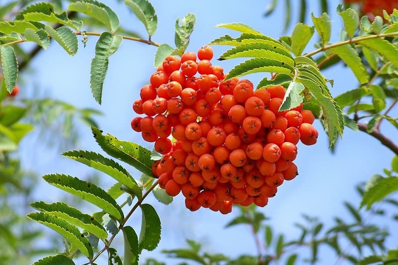 Несколько причин полюбить рябину. Невероятно полезная ягода!
