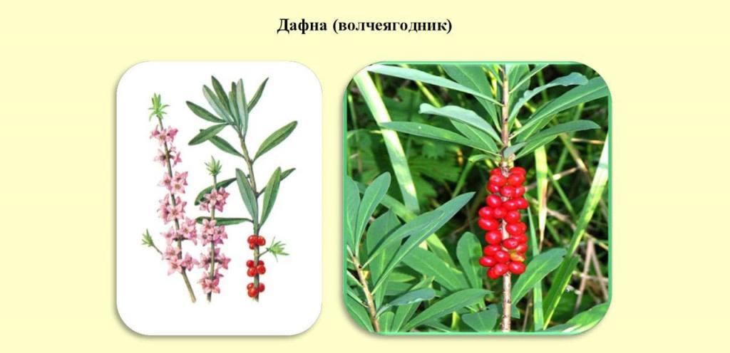 Топ-5 ядовитых ягод России – будьте внимательны!